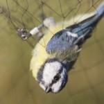 Sinitiainen (Parus caeruleus) verkossa